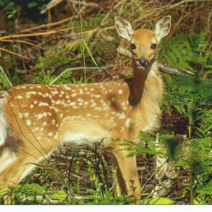 Bambi postikortti
